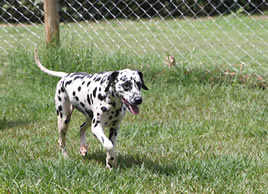 Dalmation in the compound at the Nile Pet Boarding